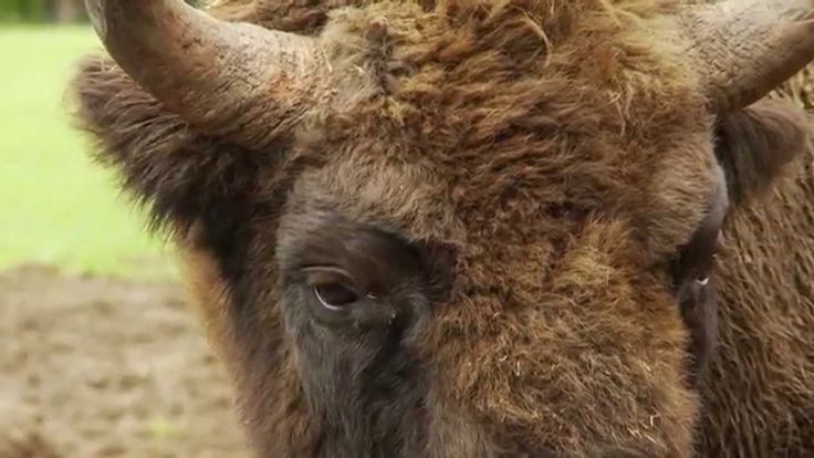 Bison transportation to the Southern Carpathians