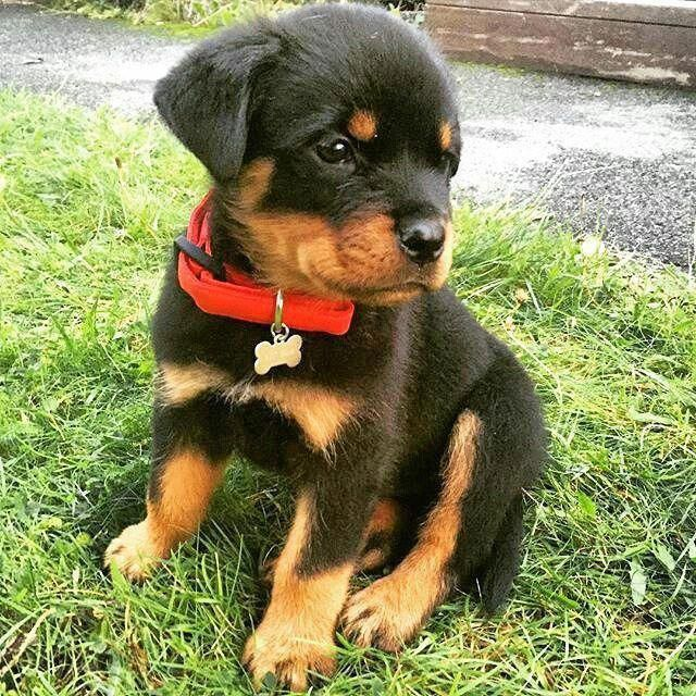 All About The Confident Rottweiler Dog Rottweilervideos