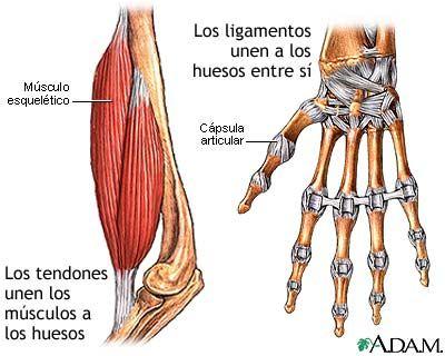 Los musculos son tipos de tejidos conjuntivos