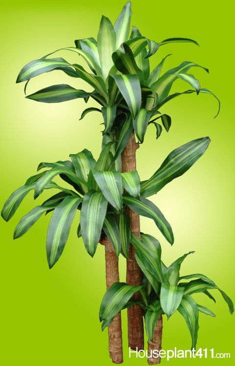 corn plant dracaenas make great houseplants httpwwwhouseplant411 - House Plants Identification Pictures