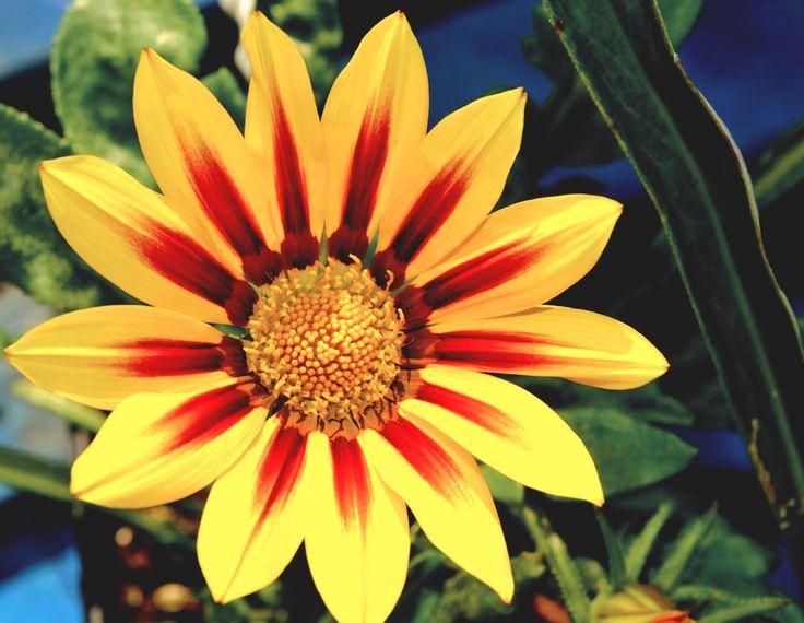 Tiger Gazania flower basking in the sun at our garden centre