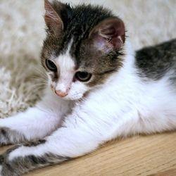 Si certains pensent qu'il est impossible d'élever ou d'éduquer un chat, ils font fausse route : un chat s'éduque, surtout dès qu'il est chaton. Bien choisir son chaton Pour bien élever son chat, l'idéal est de l'adopter chaton. Et pour s'assurer que ...