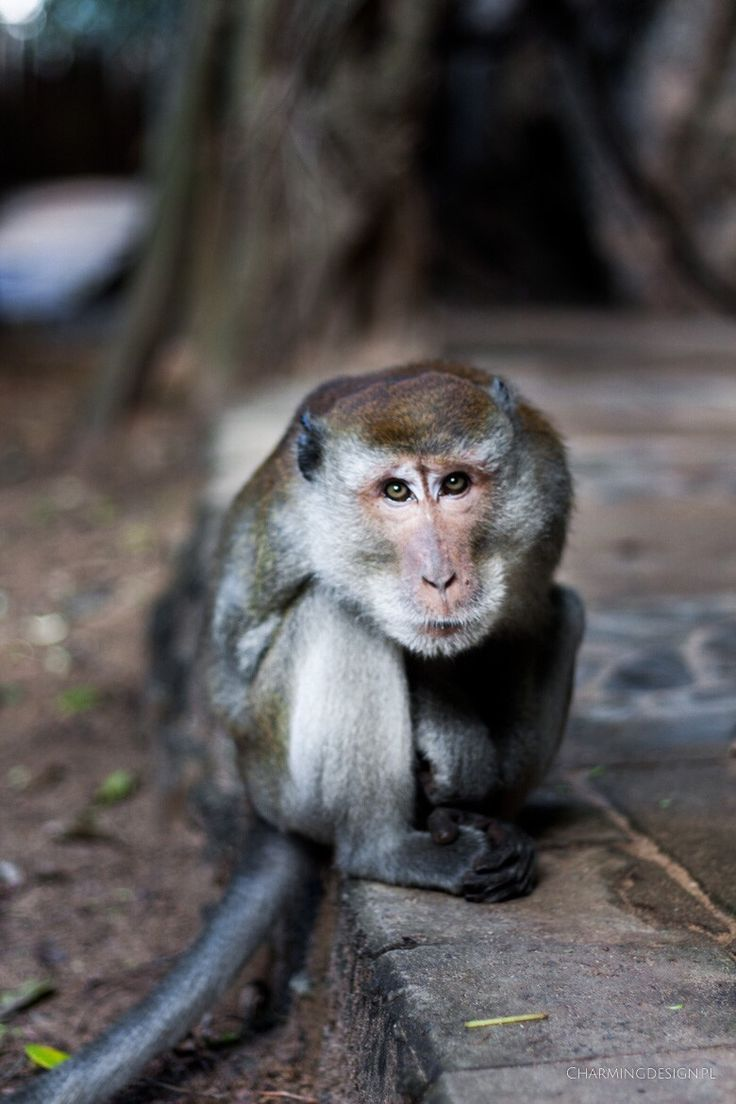 Małpa, Tajlandia / Monkey, Railay, Thailand
