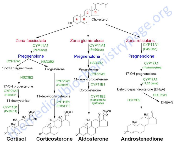 Adrenal steroid hormone synthesis