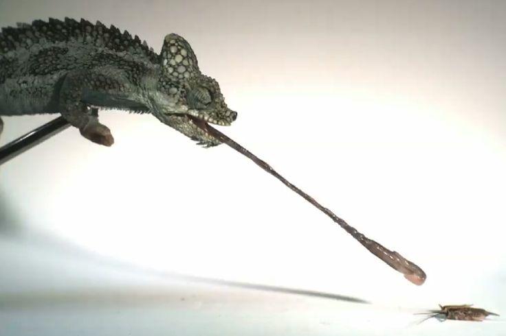 Das Stachel-Zwergchamäleon ist verdammt klein – und verdammt schnell mit der Zunge. In Bruchteilen einer Sekunde schlabbert das Tier seine Beute an und auf. Auch die Watt-Zahl ist beeindruckend.