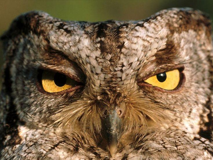Via rhampotheca @ Tumblr: Eastern Screech Owl (Otus asio) has seen your kind before, and isn't impressed.