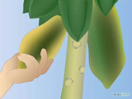 Papaya anbauen
