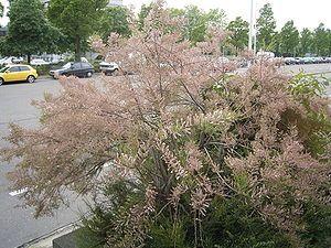 """""""Die Tamarisken (Tamarix) sind eine Pflanzengattung aus der Familie der Tamariskengewächse (Tamaricaceae). Sie umfasst etwa 55 bis 90 Arten."""" #"""" In den sumerischen Palastgärten wuchsen Dattelpalmen und Tamarisken, in deren Schatten Festmähler stattfanden.[4] Der """"Tamariskenbaum"""" wird in der Bibel an mehreren Stellen (1.Mose 21,33, 1.Sam 22,6, 1.Sam 31,13) erwähnt. In Ägypten glaubte man, dass sich die Seele von Osiris in einer Tamariske aufhielt, und Tamarisken umgaben oft Gräber.[5]"""""""