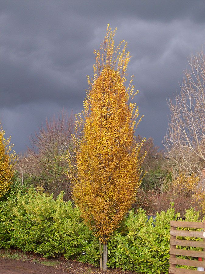 Carpinus betulus (grab pospolity) 'Fastigiata' - jesienią