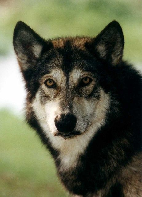 1000 Ideas About Wolf Dogs On Pinterest Black Wolves