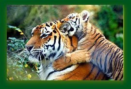 Is the tiger a symbol of power or the fragility of life?