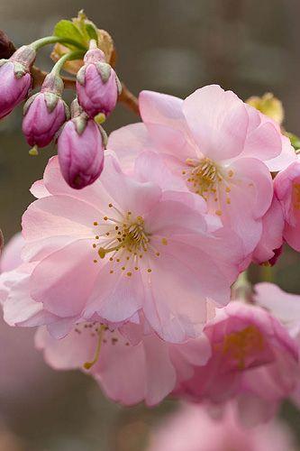Prunus sargentii (Sargent Cherry)