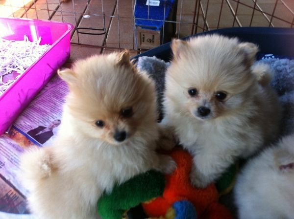 Perth Breeder Dogs Pomeranian Breeders Dogs For Sale