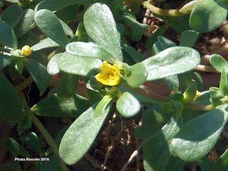 ΡΟΔΟΣυλλέκτης: Γλυστρίδα ή Αντράκλα: Ένα αρχαίο θεραπευτικό φυτό ...