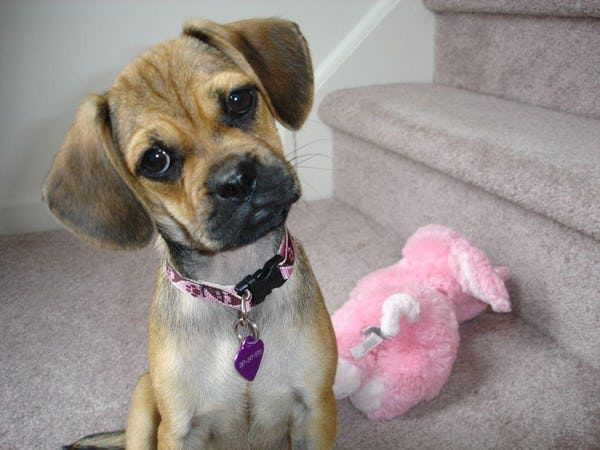 Puggle Is Listed Or Ranked 7 On The List The Cutest Mixed Dog