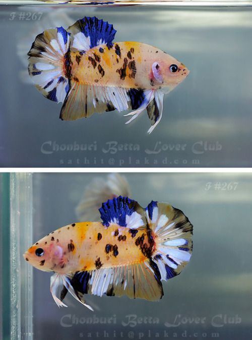 1000 ideas about cool fish on pinterest fish tanks for Buy betta fish