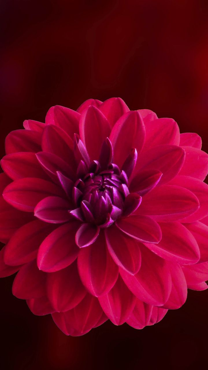Pink Blur Portrait Dahlia Flower 720x1280 Wallpaper Dahlia Flower Flowers Flowers Nature