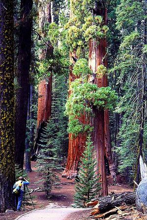The Sherman Tree Trail in Sequoia National Park