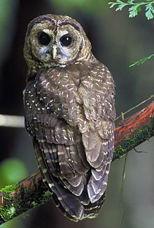 Northern spotted owl (Strix occidentalis caurina)  - Redwood National and State Parks - Wikipedia, the free encyclopedia