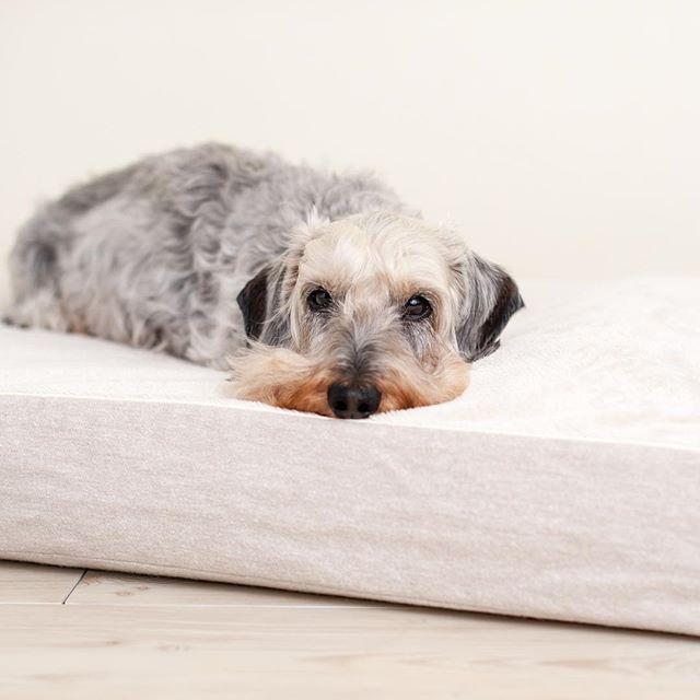 寒がりなシニア犬のムックくんのために冬用のベッドカバーに変えました😄オフィス内は暖房が効きすぎていて人間は半袖でも暑いくらいですが😅ムックくんは温かくて幸せそう😊 🔸🔸🔸🔸🔸🔸 #アンベルソ #ムックくん  #ロイヤルベッド #ダックス #ダックスフンド #ワイヤーダックス #シニア犬 #犬スタグラム #anberso #dachshund #wirehaireddachshund #dachshundsofinstagram #dogbed