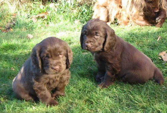 Sussex Spaniel Pups ~ Classic Look