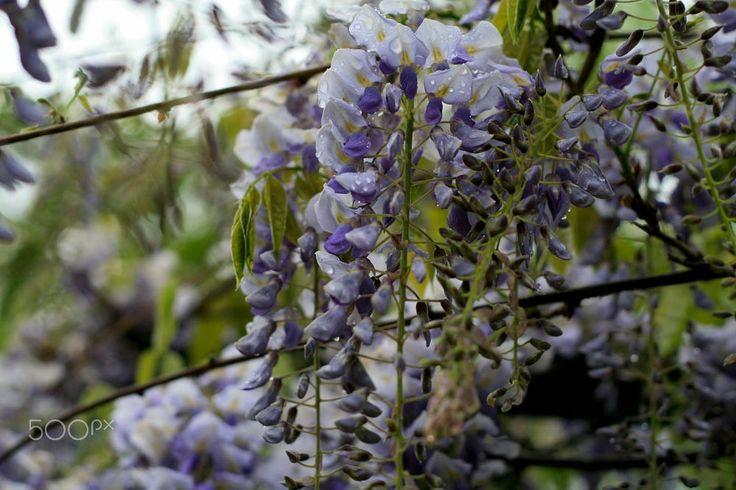 Purple flowers by Ivan Bianca on 500px
