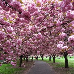 Kanzan Cherry The Kanzan Ornamental Cherry is a very popular, vigorous, upright deciduous tree with stiff ascending branches which are covered with young coppery-red leaves in spring, turning green in summer.  Kanzan Cherry trees feature masses of clusters of double purple-pink flowers in Spring, which appear before the leaves during the latter half of September. This makes a wonderful flowering centerpiece to any garden. Roughly 3ft tall in a 10″ pot.
