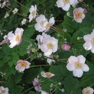 Silvrig höstanemon. Anemone tomentosa 'Robustissima'. Sol till halvskugga, medelfuktigt, näringsrik, mullrik och väldränerad jord. 80-100 cm. Blommar augusti, september och oktober. Jorden får inte torka ut och inte stå blöt, speciellt inte under vintern. Förökas med rotknölar på våren eller genom delning på hösten. Bör vintertäckas med exempelvis granris. Växer till stora bestånd.