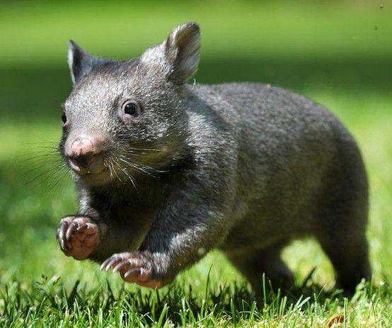 Baby Wombat: 38 Best Australia's Cute Animals: Wombats Images On Pinterest