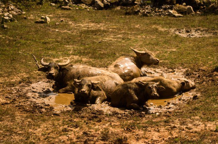 Water buffaloes, Laos
