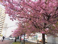 なんと桜が満開毎年月の終わりから咲いているそうです 西鉄花畑駅の側で今が見所ですあ本当に桜なのか心配になってきたくらいお見事でした春を先取りしちゃいましょう tags[福岡県]