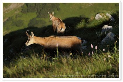 Chamois - you will meet them in the Tatras and Low Tatras.