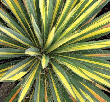 Yucca filamentosa 'Color Guard'