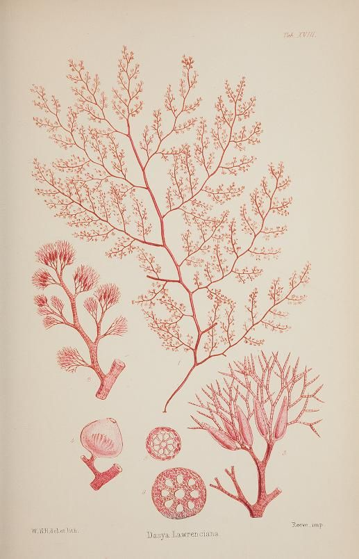 Nereis australis, or Algae of the southern ocean : being figures and descriptions of marine plants, collected on the shores of the Cape of Good Hope, the extra-tropical Australian colonies, Tasmania, New Zealand, and the Antarctic regions  |  1847