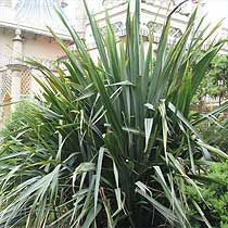 phormium tenax    Common Name: New Zealand flax  Skill Level: Experienced  Exposure: Full sun  Hardiness: Half Hardy  Soil type: Well-drained/light, Clay/heavy, Moist  Height: 300cm  Spread: 180cm    http://www.bbc.co.uk/gardening/plants/plant_finder/plant_pages/9686.shtml