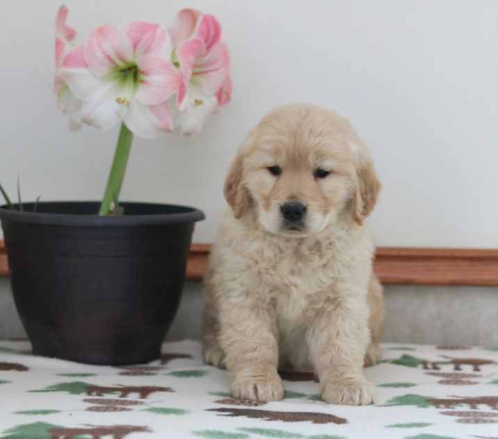 Pin By Buckeye Puppies On Golden Retriever Puppies Cute Funny