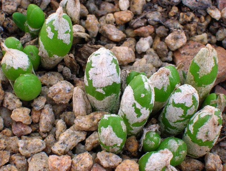 1000 Id Es Sur Le Th Me Succulentes Rares Sur Pinterest Plantes Grasses Plantes Grasses Et