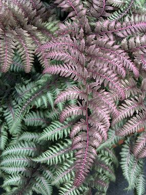 """Fern Japanese Painted Fern Burgundy Lace Height: Medium 1-3"""" (Plant 2 apart) Bloom Time: Not Applicable Sun-Shade: Mostly Sunny to Full Shade Zones: 4-8 Soil Condition: Normal, Clay, Sandy Dramatic purple fronds frosted with shimmering silver. A perfect foliar color punch for container combos, edging; adaptable and more tolerant of heat, sun and clay than most ferns. Fern Burgundy lace is a real showstopper. Clumping."""