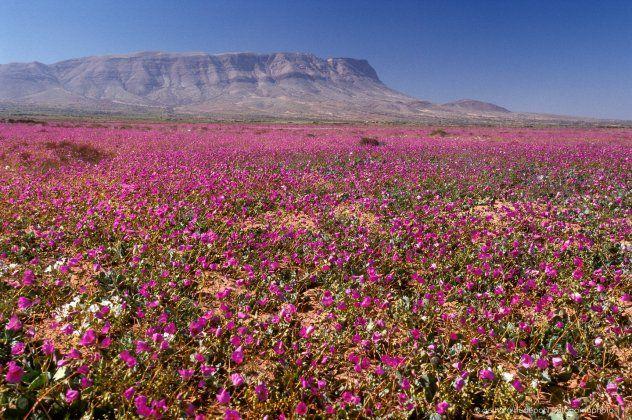 Εκεί δεν βρέχει ποτέ: στο ξηρότερο μέρος του πλανήτη μόλις βλάστησαν υπέροχα μωβ λουλούδια | eirinika.gr