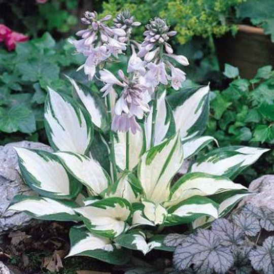 Top 5 Plants for Shade......Caladium, Coleus, Elephant Ear, Hostas, and Ferns. Ideas for the area under the live oak in the backyard, by the shed and fire pit