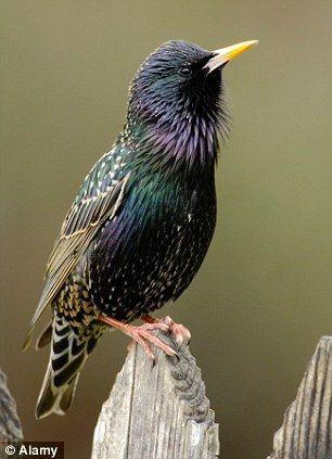 Starlings - Stare