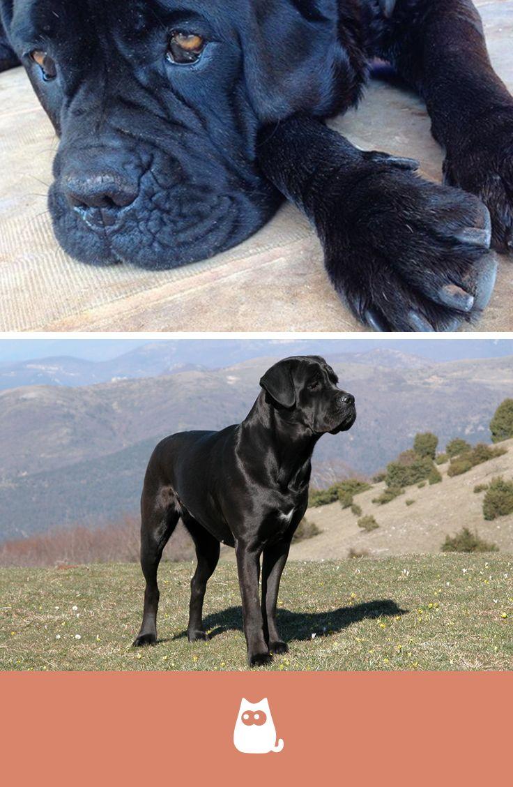 Il Cane Corso è Aggressivo Cani Hunde