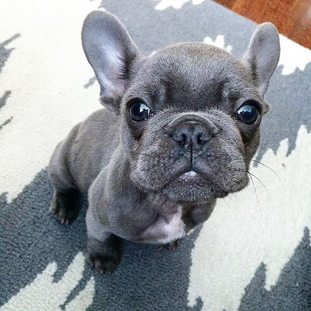 Blue Smoke French Bulldog Puppy In Texas French Bulldog Puppies