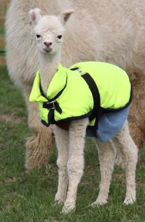 Baby Alpacas for Sale | scott wrote: The Wikipedia page suggests that's maybe not the case.