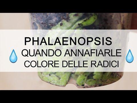 Orchidea Phalaenopsis - Quando annaffiarle ? Colore radici - YouTube