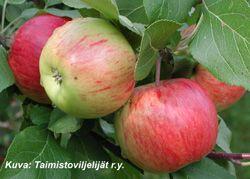 PIRJA      Kesälajike. Omenat pienehköjä ja punaviiruisia. Miellyttävän makuisia. Talvenkestävä. Kypsyy aikaisin. Sopii säleikköpuuksi.