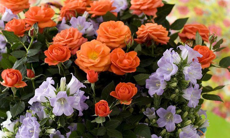 adelaparvu.com despre trandafirii pitici, ingrijirea trandafirilor pitici, Rosa…