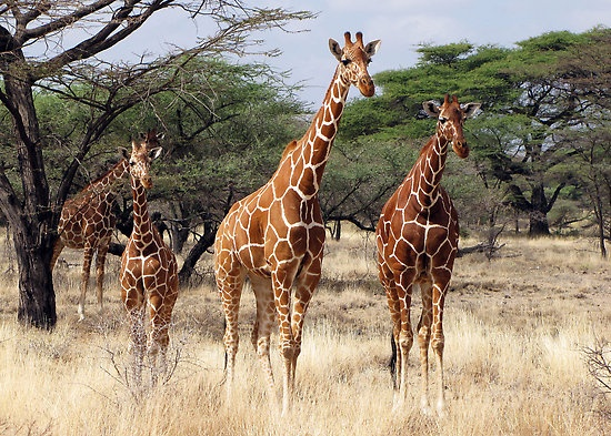 Africa | The largest of the giraffe species, the Reticulated Giraffe is found only in Northern Kenya. | © Michael Sheridan