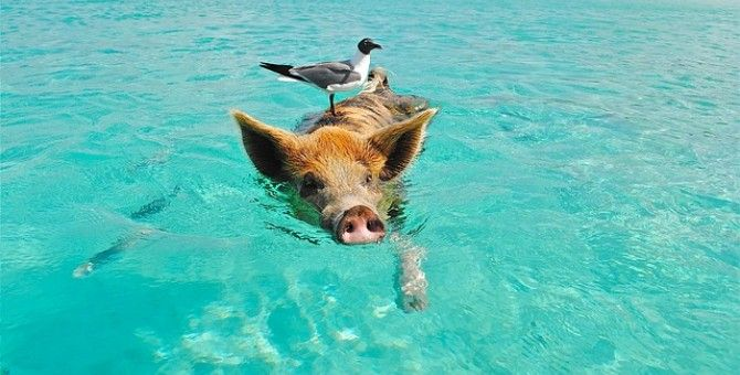 http://www.bubblews.com/news/8488404-this-pig-in-australia-did-what