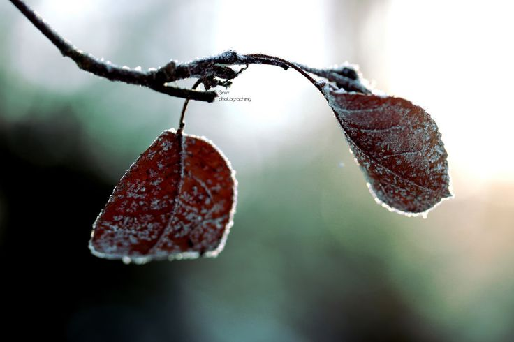 Winter leafs | by Siniirr